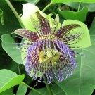 PASSIFLORA MALIFORMIS Rosy passion vine 50 seeds