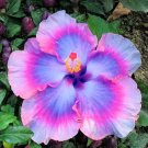Dinnerplate Hibiscus 'All about Bling' perennial 10 seeds