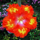 Dinnerplate Hibiscus 'Red HOT' perennial 10 seeds