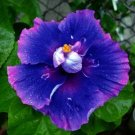Dinnerplate Hibiscus 'Milkyway' perennial 10 seeds