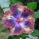 Dinnerplate Hibiscus 'Brazen Steed' perennial 10 seeds