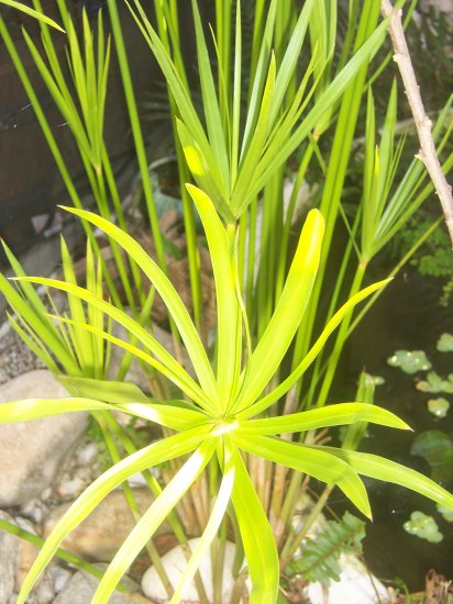 Papyrus Umbrella Plant for Your Water Garden or Pond