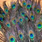 "100 Natural Peacock Feathers w blue green Eyes 8-12"" L"