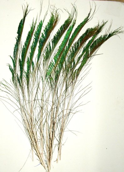 """50  Peacock Sword Feathers Right Natural Iridescent 20-25"""" L"""