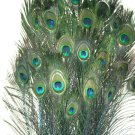Peacock eye feathers Stem Dyed 100 TURQUOISE BLUE  L 30-35""