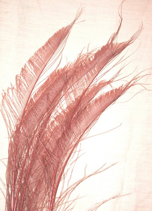 """50  Peacock Sword Feathers Bleached & Dyed DUSTY ROSE 20-25"""" L"""