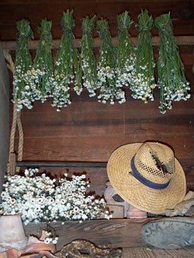 Dried Flowers-Ammobium - Winged Everlasting