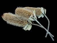 Dried Flowers-Banksia - - Protea