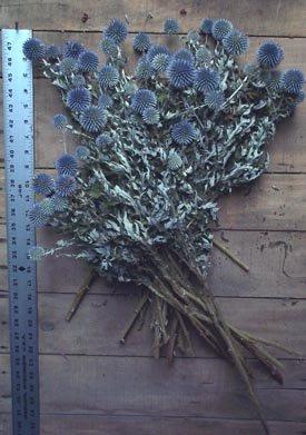 Dried Flowers-Blue Globe Thistle - Echinops