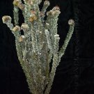 Dried Flowers-Buck Foliage