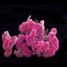 Dried Flowers-Celosia Cockscomb - Cockscomb