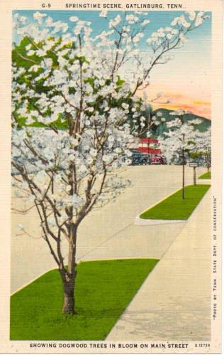 Springtime Dogwood trees in Bloom  Main St, Gatlinburg, TN  Postcard   #0214