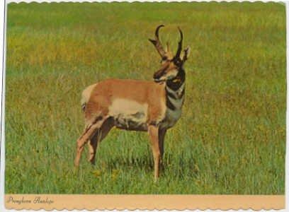 Pronghorn Antelope on the American Prairie Chrome Postcard #0092
