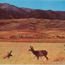Antelope on the Prairies of Wyoming Postcard #0089
