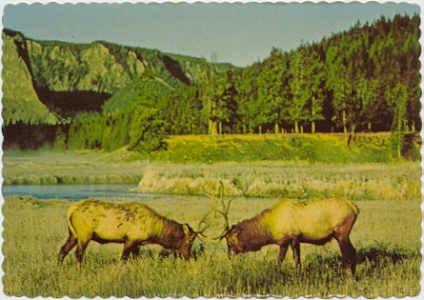 Bull Elks Engage in Combat  American Prairie scene Postcard  #0086