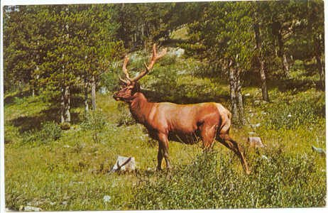 Male Elk in American woodland scene Chrome Postcard #0093