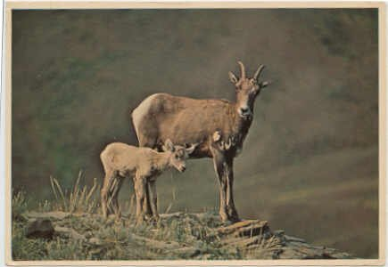Sheep - Mother &  Kid high in the Rockies  Chrome Postcard  #0091