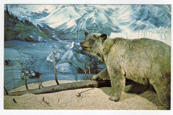 Glacier Bear - University of Alaska Museum Fairbanks, AK postcard  #0397