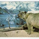 Glacier Bear - University of Alaska Museum Fairbanks, AK postcard  #0397