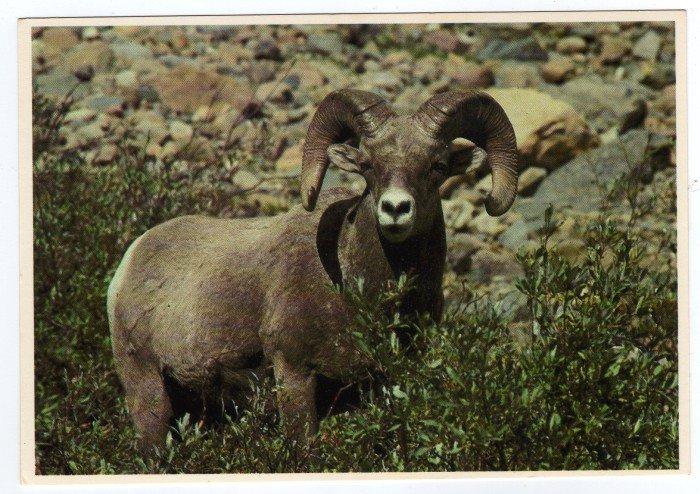 Big Horn Sheep Postcard Glacier National Park Montana Plastichrome Mark Duran photo