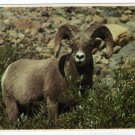 Big Horn Sheep Postcard Glacier National Park Montana Plastichrome Mark Duran photo