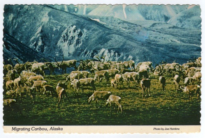 Migrating Caribou, Alaska Postcard photo Joe Hankins Plastichrome