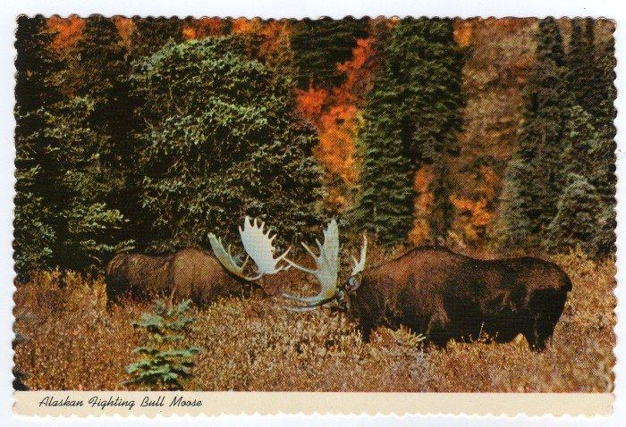 "Alaskan Fighting Bull Moose Postcard ""Alaska Joe"" original 1970"
