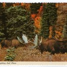 "Alaskan Fighting Bull Moose Postcard ""Alaska Joe"" original 1970"