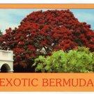 Exotic Bermuda postcard blooming poinciana tree Hamilton #0461