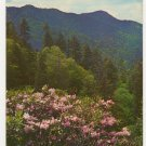 Rhododendron In Bloom Near Newfound Gap Great Smoky Mountains National Park TN  1960s