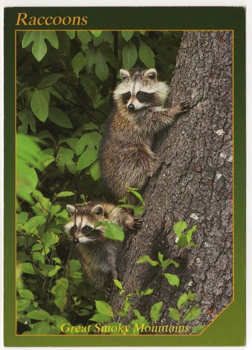 Raccoons - Animals of the Smokies - Great Smoky Mountains - APS Postcard Photo Alan Carey