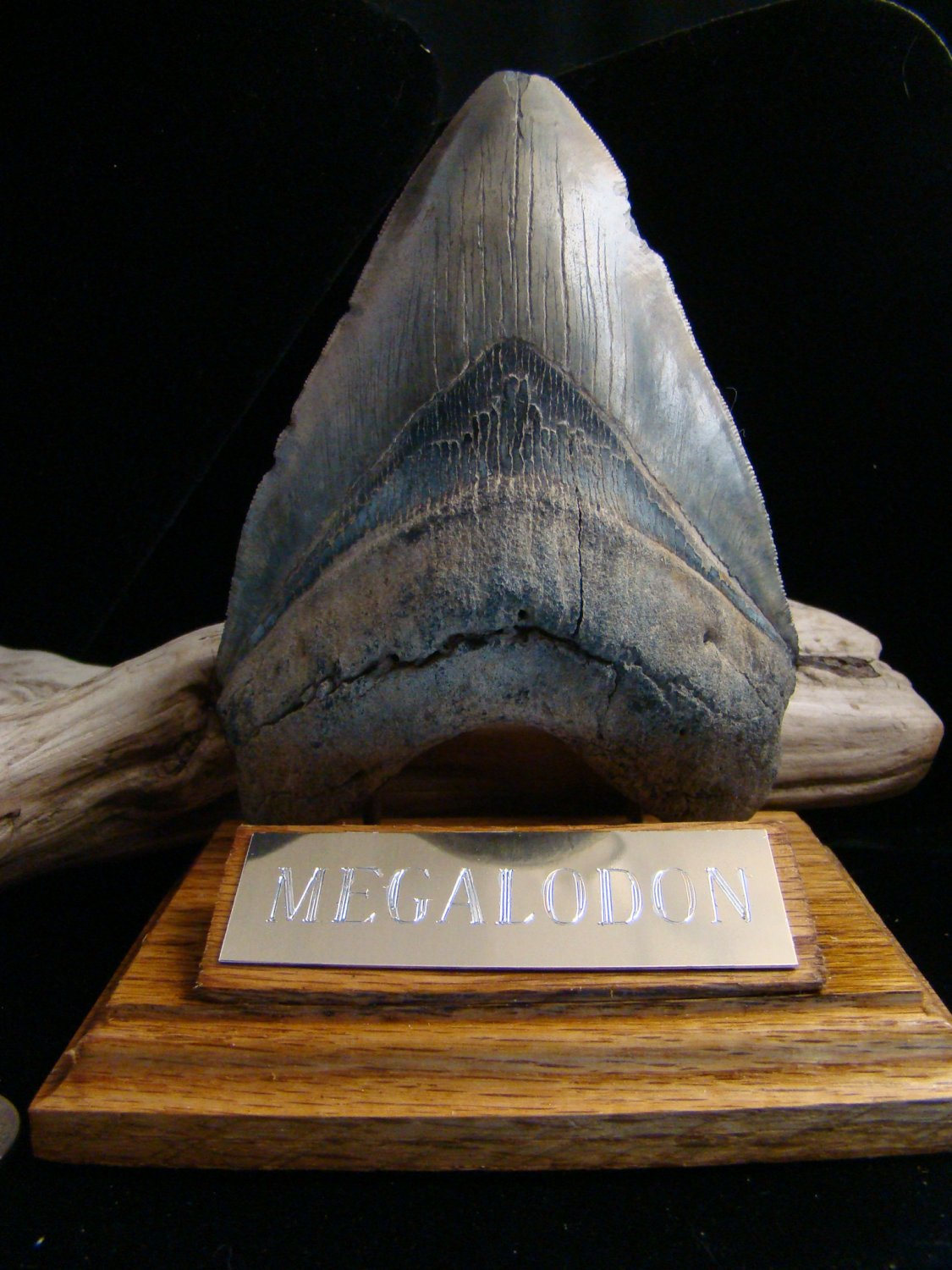 """HUGE!!   MEGALODON   FOSSIL SHARK TOOTH   5 5/8"""""""
