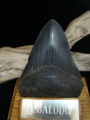 """Fossil 4 3/4"""" Huge Black """" Megalodon Shark """" Tooth - 121mm - attractive Wood display Stand included"""